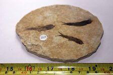 """B.J.F.  Super  Fossil  Fish  """"Knightia:  From  Wyoming  USA"""