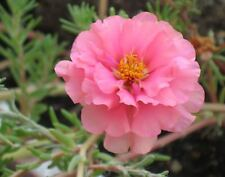 100 PINK PORTULACA Grandiflora / MOSS ROSE Flower Seeds *Comb S/H + Free Gift