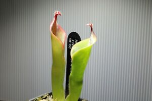 """Heliamphora uncinata X parva """"Extremely Hairy"""" AW-ISC"""