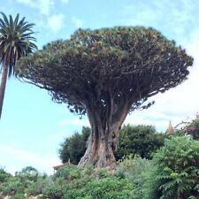 20Pcs Dracaena Draco Dragon Blood Tree Seeds Perennial Plant Giant Bonsai