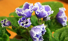 ☘LE-ALPIYSKIY KOLOKOLCHIK☘ALPINE BELLFLOWER☘ African Violet Plant ☘Plug NEW 2015