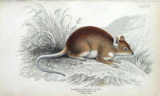LONG TOED SPINOUS RAT, Jardine hand coloured antique animal print 1843