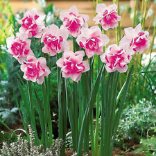 400xDouble Narcissus Duo Bulbs Scented Pastel Mixed Daffodil Spring Plant Flower