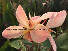 New listing 10 seeds Light Pink splash canna lily very beautiful, not plant, flower, pond