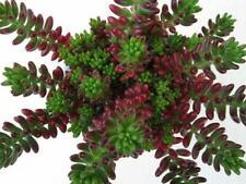 "SEDUM RUBROTINCTUM 'CHRISTMAS  jelly bean succulent 2 rooted cuttings 2-6"" long"