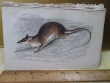 Vintage Print,Naked Tailed Opossum,Jardine,c1840