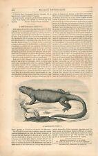 Iguane marin des Galapagos Amblyrhynchus cristatus Sauriens GRAVURE PRINT 1847