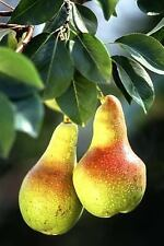 Pears on a Pear Tree Journal : 150 Page Lined Notebook/Diary by C. S....