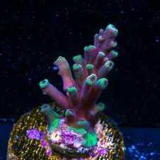 New listing Wwc Firebreather Acropora ~ Wysiwyg Live Coral Frag ~ World Wide Corals ~ #228