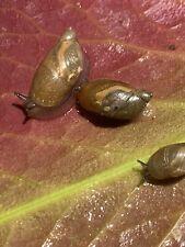 4+ Golden Brown Live Garden Land Snails Educational Pet Feeder
