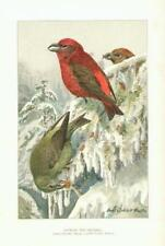 1903 Louis Agassiz Fuertes Chromolithograph Print - American Red Crossbill 8x11