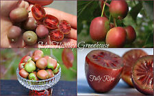 """SEEDS – Very Hardy at -35°C Red Kiwi """"Mt. Tomah"""" from China! Self-fertile!"""
