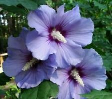 FR101 Rose of Sharon x10 Hibiscus Syriacus Purple