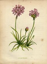Antique botanical print :Common Thrift / Armeria maritima / Anne Pratt 1855