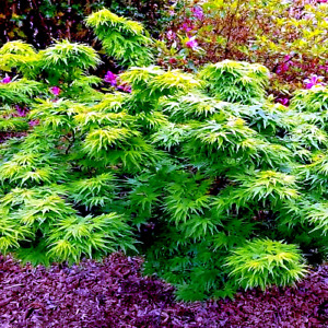 "10 ""DWARF"" Japanese Maple Tree Seeds Mikawa yatsubusa UNIQUE Hemp Herb Bonsai"