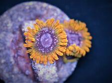 New listing Acid Reflux Zoas, 3 polyps, Home Grown, Wysiwyg