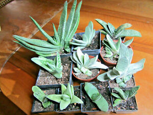 11 versch. Gasteria, Sukkulente, Zimmer-Pflanze, Aloe, Haworthia