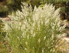 New listing Dog Fennel (50 seeds) fresh this season's harvest from my garden