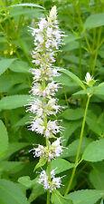 100 Samen Weiße Korea-Minze Agastache rugosa Duftnessel Riesenysop Bergminze