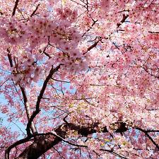 Japanese Cherry Blossom Tree Seeds Prunus Serrulata Pink Flower NEW