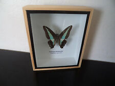 Taxidermy Real Mounted Butterfly Common Bluebottle Boxed Display Lepidoptera