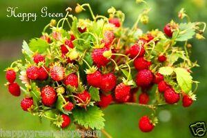WILD STRAWBERRY - Baron Solemacher - 270 seeds - Fragaria Vesca - Fruit seeds