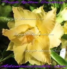 "ADENIUM OBESUM DESERT ROSE  "" TRIPLE YELLOW DUCKLING "" 1 GRAFTED PLANT NEW"