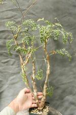Pelargonium Carnosum succulent bonsai tree winter grower Natural