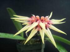 Bulbophyllum Sri Phuket (Lion King x annandalei) - Hybrid - Bs Div