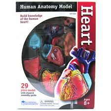 Learning Resources Heart Anatomy Model NEW
