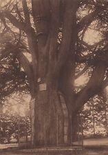 G1800 France - Le cèdre géant de Montigny-Lencoup - Stampa d'epoca - 1933 print