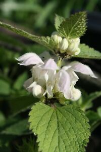 White Dead Nettle Lamium Album Plug Plants Insect Friendly Flowering UK Native