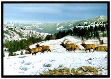 Elk Herd Postcard Snow Ridge Mountains Northern Rockies Bull Wild Animals New