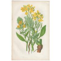 Anne Pratt antique 1st ed 1860 botanical print, Pl 30 Wild Radish, Sea Radish