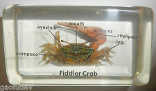 Reddish Fiddler Crab 6 parts labeled Clear Education Aquatic Animal Specimen