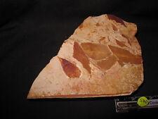 Glossopteris leaves, fossil, Australia (540)