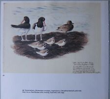 Beau Tunnicliffe Oiseau Imprimé ~ Oystercatchers Annelé Pluvier