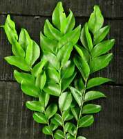 100% Organic , Natural , Home cultivate Sun Dried Curry Leaves From Sri lanka