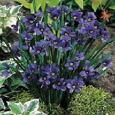 30+  VIOLET BLUE-EYED GRASS SISYRINCHIUM FLOWER SEEDS / SEDGE / PERENNIAL