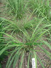 HERB  LEMON GRASS EAST INDIAN  0.25 GRAM ~ 650 FINEST SEEDS