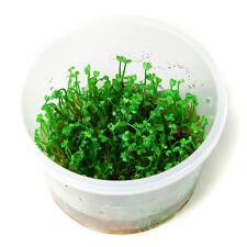 Marsilea crenata Tropica 1-2-Grow In Vitro Aquarium Plant Shrimp Safe