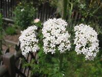 300 Valeriana Officinalis Seeds - Valerian Medicinal Plant - Heliotrope