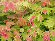 Acer Moonrise, New Variety Sold In 3 Lt Pot STRONG PLANTS