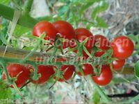🔥 🍅 Sugar Lump Tomate*Cherry-Party-Rispen-Tomaten* 10 Samen