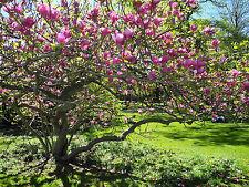 Magnolia Full Sun Trees For Sale Ebay