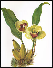 1970's VINTAGE Orchid BIFRENARIA HARRISONIAE Flower Botanical Art PRINT