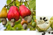 10 cashew nut tree/plant/fruit seeds *10 free custard apple, 10 free watermelon*