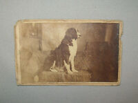 Old Antique Vtg 19th C 1870's CDV Photo Large Well Posed Dog Portrait Very Nice