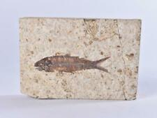 More details for knightia fossil fish from green river formation wyoming usa - eocene