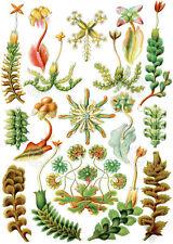 Hepaticae Ernst Haeckel Vintage Plant Liverwort Fern Biology Print Poster 14x11